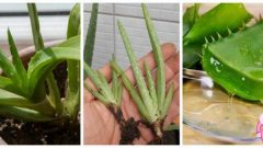 Is Aloe Vera Gel Good for Skin? How Long Should I Stay On The Skin?