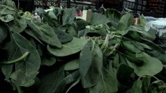 Is spinach poisons? What are the symptoms of spinach poisoning? What does spinach poisoning do?