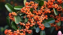 What Are the Benefits of Hawthorn?