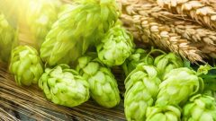 What are the benefits of hops? How to use hops?