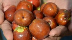 What are the benefits of jujube fruit? For which diseases is jujube?