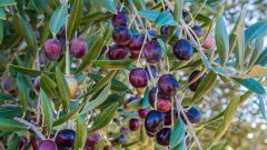 What are the benefits of olive? How is olive leaf consumed? If you swallow olive seeds. . .