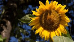 What are the benefits of sunflower? Which diseases is sunflower good for?