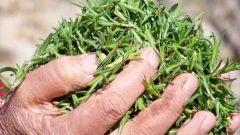 What are the benefits of thyme herb? How to make thyme tea? What does thyme oil do?