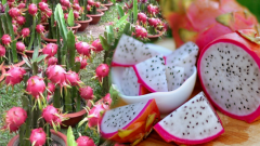 What is dragon fruit? What are the benefits of dragon fruit? Which diseases are good for?