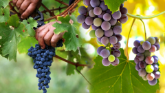 What is the grape juice diet? What are the benefits of black raisins? If you eat the grape with its skin. . .